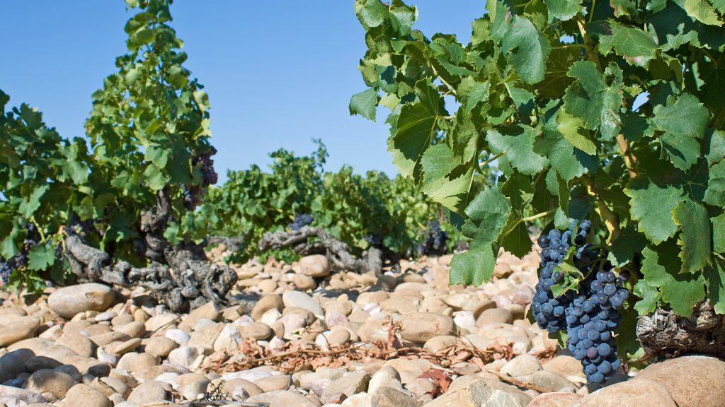 de witte wijngaard bodem straalt warmte uit die de laaghangende druiven opnemen