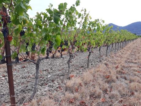 Jonge stokken in een wijngaard hebben het moeilijk als het erg droog is.