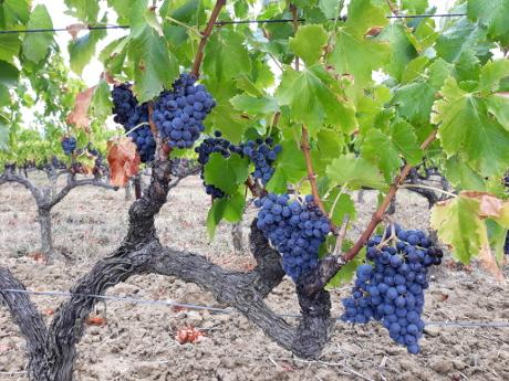 Een wijngaard met oude stokken kan goed tegen de droogte